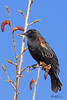 A Red-winged Blackbird taken Apr 10, 2010 in Fruita, CO.