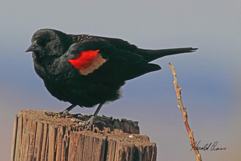 A Red-winged Blackbird taken April 22, 2011 near Fruita, CO.