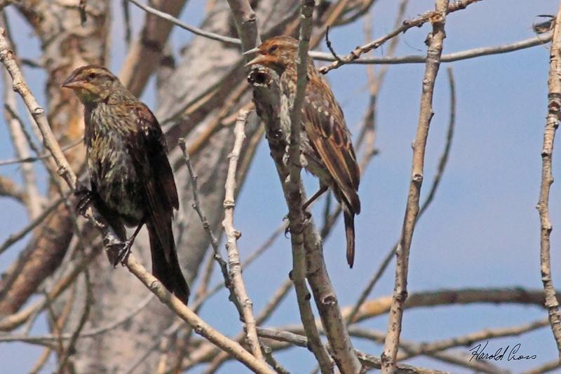 Red-winged Blackbirds taken Aug 9, 2010 near Denver, CO.