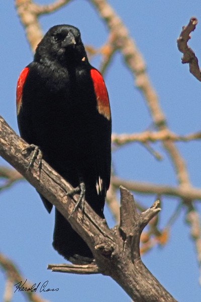 A Red-winged Blackbird taken May 9, 2011 at Barr Lake State Park near Denver, CO.
