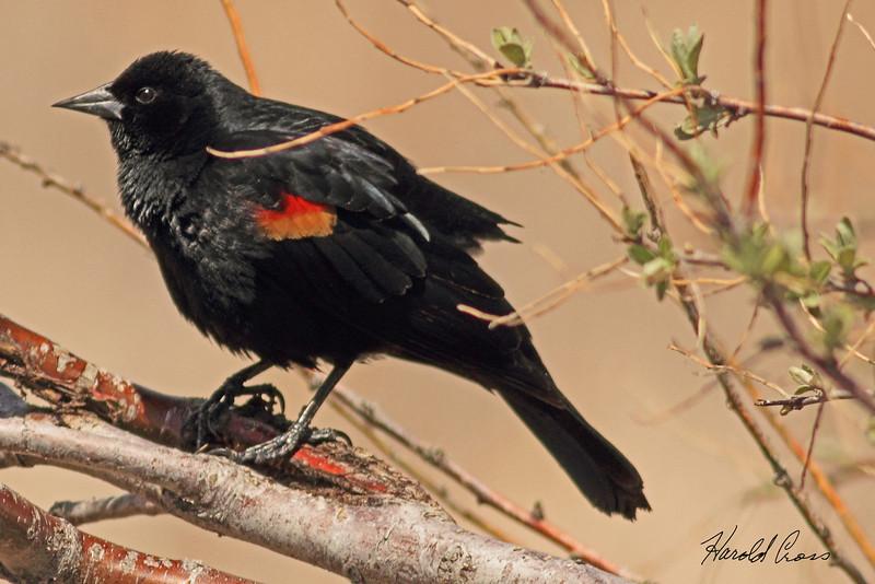 A Red-winged Blackbird taken April 27, 2011 near Fruita, CO.