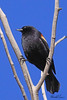 A Red-winged Blackbird  taken Mar 14, 2010 in Grand Junction, CO.