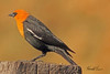 A Yellow-headed Blackbird taken May 2, 2011 near Fruita, CO.