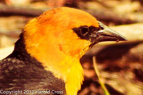 A Yellow-headed Blackbird taken June 12, 2012 near Brigham City, UT.
