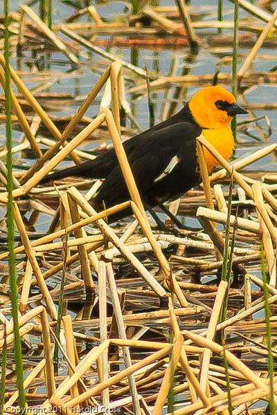 A Yellow-headed Blackbird taken June 7, 2011 near Ely, NV.