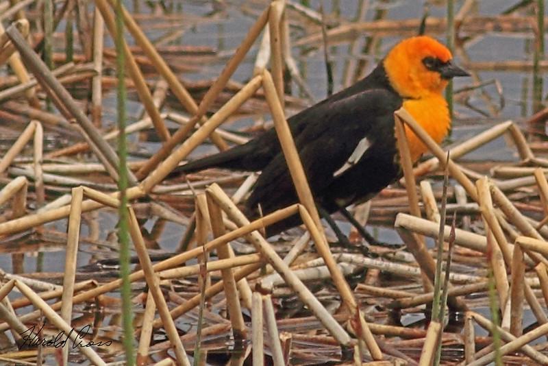 A Yellow-headed Blackbird taken June 11, 2011 near Ely, NV.