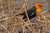 A Yellow-headed Blackbird taken June 11, 2011 near Ely, NV.