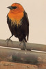 A Yellow-headed Blackbird taken May 15, 2011 near Portales, NM.