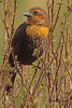 A Yellow-headed Blackbird taken May 9, 2011 at Barr Lake State Park near Denver, CO.