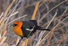 A Yellow-headed Blackbird  taken May 22, 2010 in Yellowstone National Park, Wyoming.