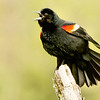 Red-winged blackbird, Ft. Edward, NY May 2017