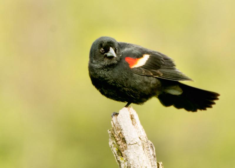 Red-winged blackbird, Ft. Edward, NY May 2017
