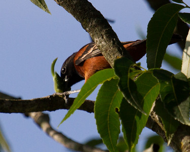 Orchard Oriole Munching