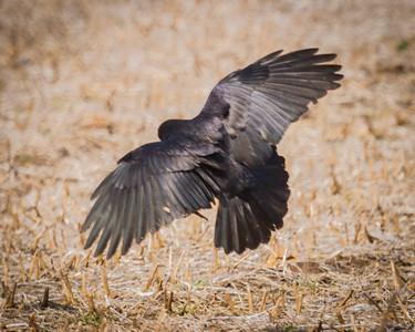 Blackbird in a Field
