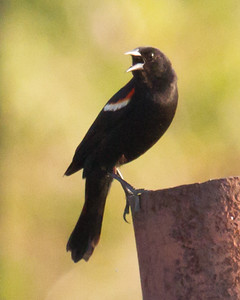 Red Winged Blackbird Calling