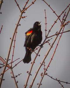 Redwing Blackbird 2