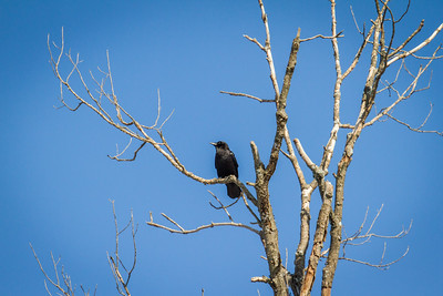 Black Bird in Tree