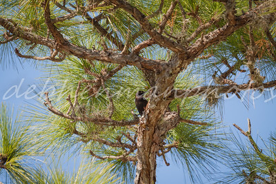Grackle in Pine