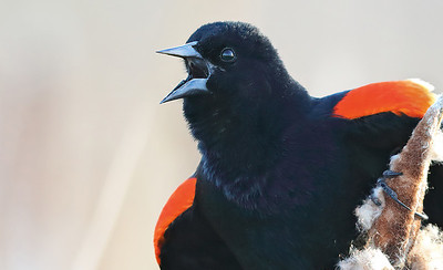 Red-headed Blackbird