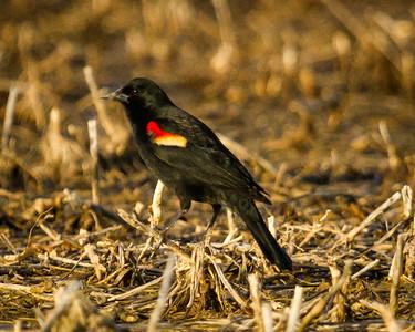 Redwing Blackbird 4