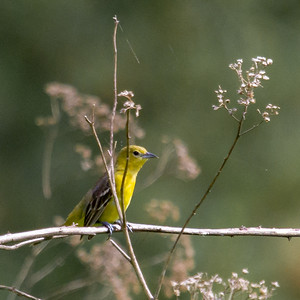 Female Orchard Oriole 2