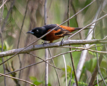 Orchard Oriole 3