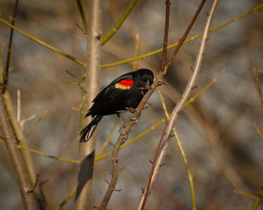 Redwing Blackbird 3