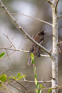 Female Redwing blackbird