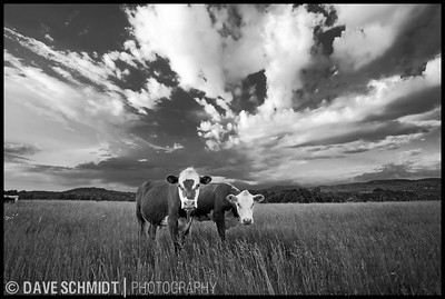 Getting two cows to cooperate with a camera is pure luck.  Within a few seconds of this image they were wandering off quickly.  Having this encounter on a day with a beautiful sky made it even more special.  I've driven past this spot a few hundred times since and never seen a shot possibility close to this.  Sunset Hill Rd, Williston, Vermont.  Taken June 2007.
