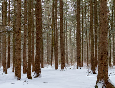 Evergreen Trees in Davis West Virginia