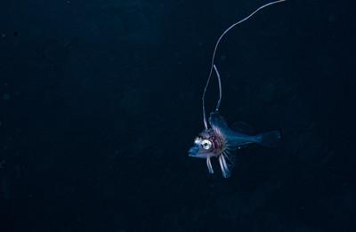 キホウボウの幼魚