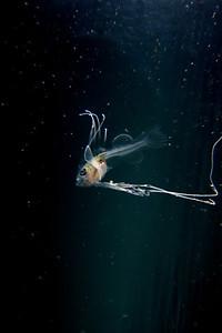 1 キアンコウ幼魚