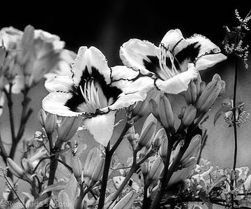 b-w day lily flowers-2