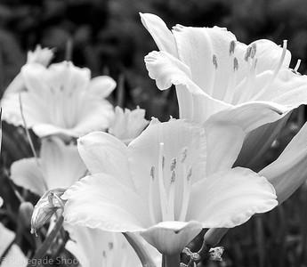 b-w daylilies