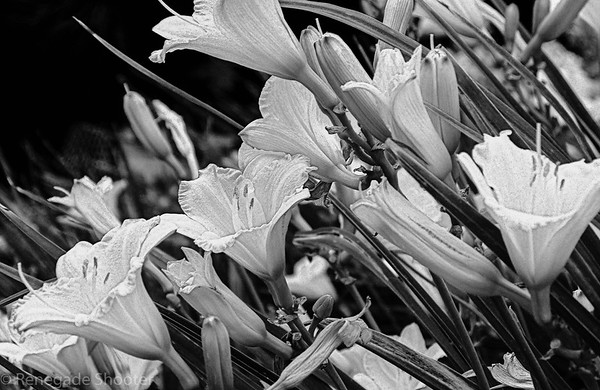b-w day lilies