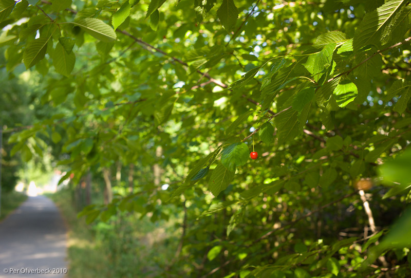Körsbäret
