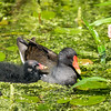 Grønbenet Rørhøne - Common Moorhen - swamp chicken - (Gallinula chloropus)