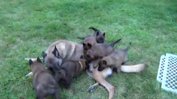 Blaze puppies 5 weeks 3 days