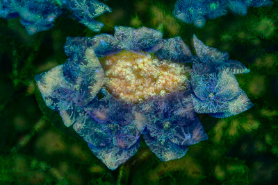 Faery hydrangea 1, dedicated to #faerysoul