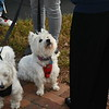 Oliver & Popcorn, two West Highland Terriers at the Blessing of the Animals that was held at the Leominster United Methodist Church.<br /> Sentinel & Enterprise / Jim Fay