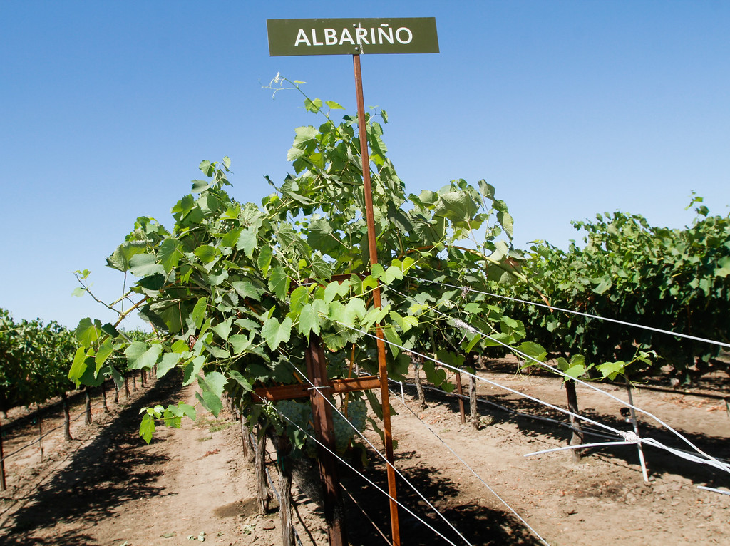 . Albariño ripen in the summer sun during the 11th annual Blessing of the Grapes Saturday July 22, 2017 at the New Clairvaux Vineyard in Vina, California.   (Emily Bertolino -- Enterprise-Record)