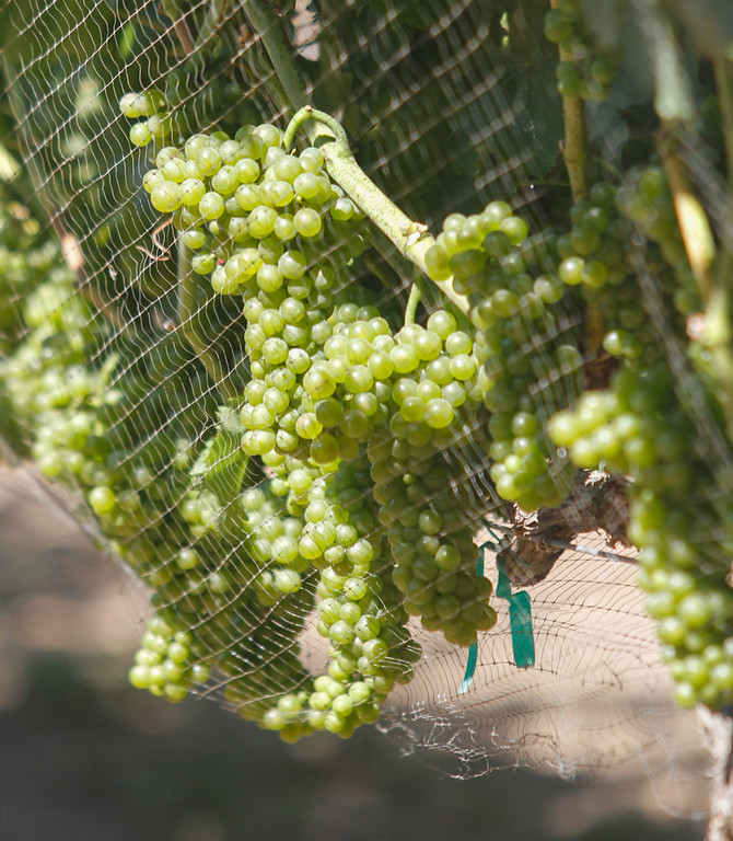 . Grapes guarded by a net bask in the sun during the 11th annual Blessing of the Grapes Saturday July 22, 2017 at the New Clairvaux Vineyard in Vina, California.   (Emily Bertolino -- Enterprise-Record)