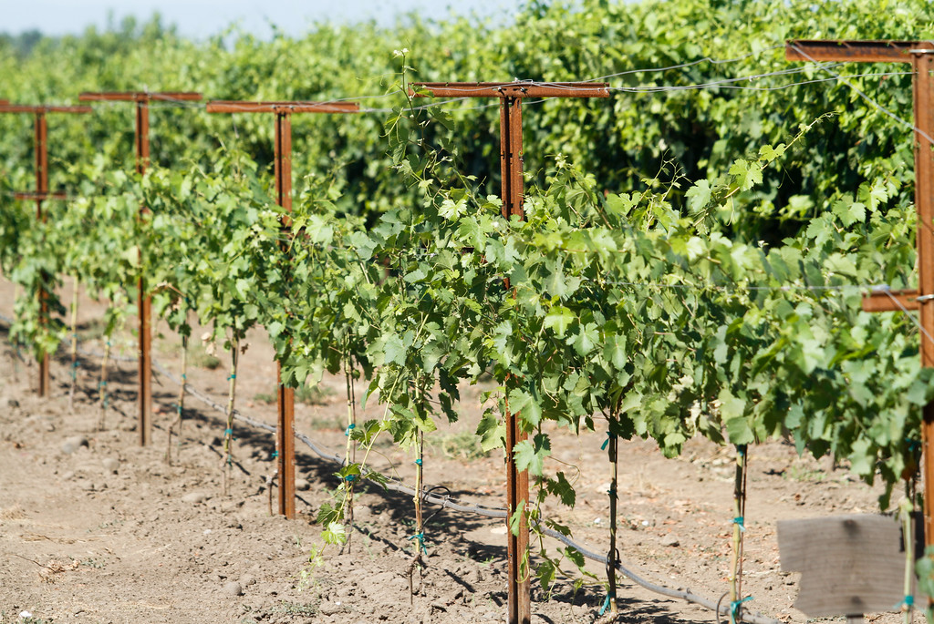 . Grape vines loaded with grapes at the 11th annual Blessing of the Grapes Saturday July 22, 2017 at the New Clairvaux Vineyard in Vina, California.   (Emily Bertolino -- Enterprise-Record)