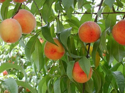 Peaches, Peaches, Peaches