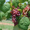 Summer Grapes at the Fruit & Berry Patch