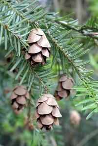 Hemlock Cones (Tsuga heterophylla)