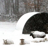 These sheep are all warm with there nice wool coats in this scene during the Blizzard on High Street in Dunstable. Nashoba Valley Voice Photo by David H.Brow