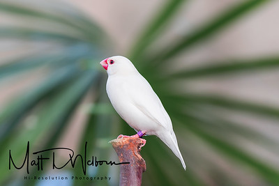 White Java Finch