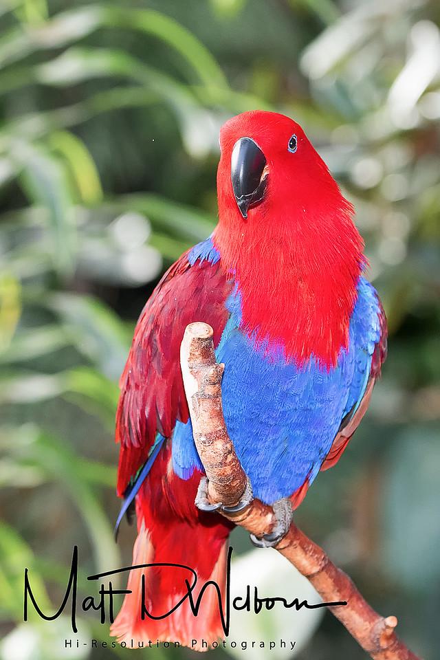 Electus Parrot