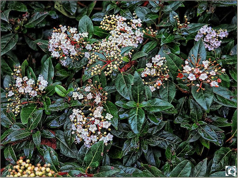 Winterbloeiende heester: Viburnum